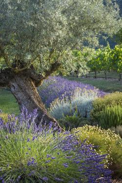 Olive Tree, Lavender and Grapevines in Gardem, Midi-Pyrenees, France by Brian Jannsen