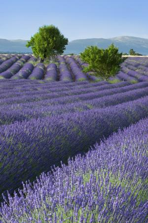 Rows of Lavender Along the Valensole Plateau, Provence, France by Brian Jannsen