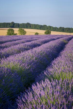 Rows of Lavender Near Snowshill, Cotswolds, Gloucestershire, England