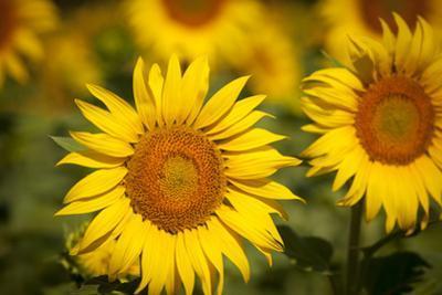 Sunflowers in a Field Near Saint Remy-De-Provence, France by Brian Jannsen