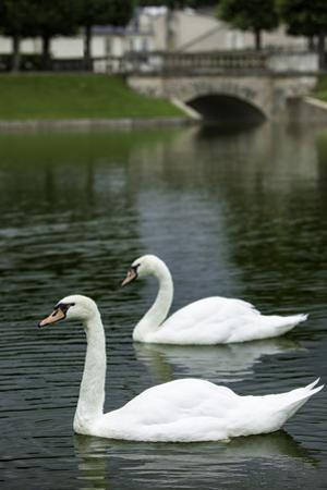Swans in a pond at Chateau Villandry, Tours, Loire Valley, France by Brian Jannsen