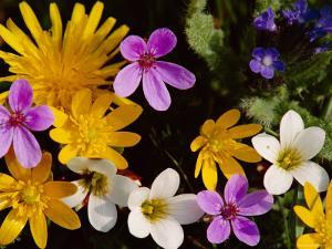 Mixed Spring Flowers Including Meadow Saxafrage and Celandine by Brian Lightfoot