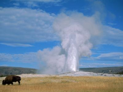 Bison and Old Faithful, Yellowstone National Park, WY by Brian Maslyar