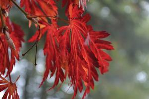 Red Leaves by Brian Moore