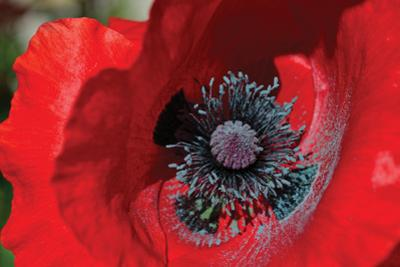 Red Poppy II by Brian Moore