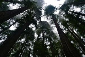 Redwoods I by Brian Moore
