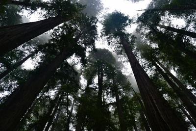 Redwoods I