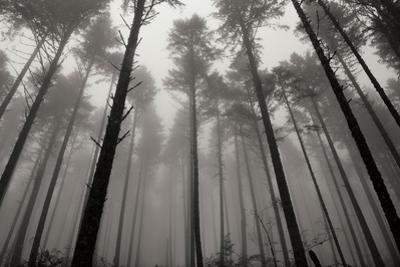 Redwoods II by Brian Moore