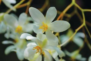 White Orchids I by Brian Moore