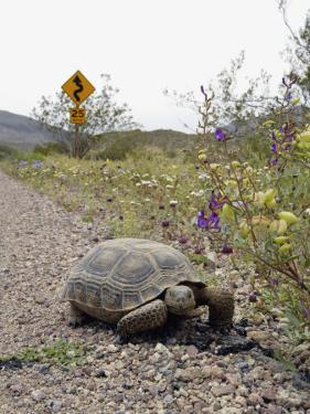 California, Death Valley, a Desert Tortoise Walks Along the Road Leading to Dante's View by Brian Schultz