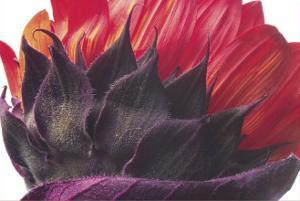 Red Sunflower by Brian Twede