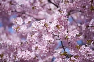 Branch of Cherry Blossomses by Brigitte Protzel