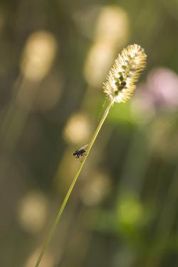 Delicate Grass in the Backlight, Fly, Stalk, Close-Up by Brigitte Protzel