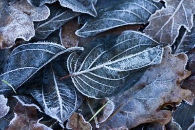 Fall Leaves, Hoarfrost