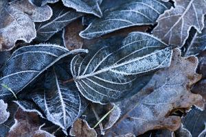 Fall Leaves, Hoarfrost by Brigitte Protzel