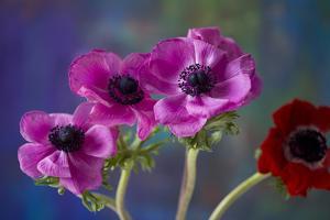 Four Poppies by Brigitte Protzel