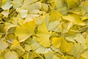 Ginkgo Leaves with Dewdrops by Brigitte Protzel