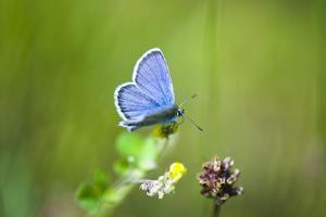 Gossamer-Winged Butterfly (Lycaenidae) in a Meadow by Brigitte Protzel