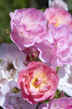 Pink Roses, Close-Up by Brigitte Protzel