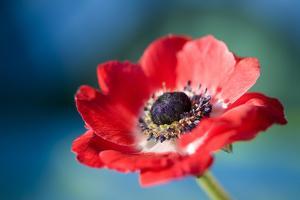 Red Poppy Blossom, Close-Up by Brigitte Protzel