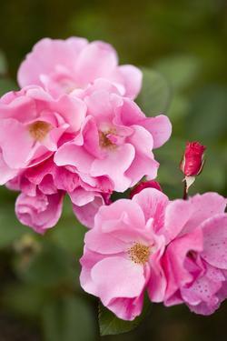Rose, Blossoms, Bud, Medium Close-Up by Brigitte Protzel