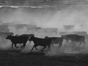 Cattle Running in Feed Lot, Kansas by Brimberg & Coulson