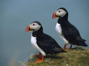 Iceland, Ingolfshofdi, Pair of Atlantic Puffins on Grass Covered Cliff by Brimberg & Coulson