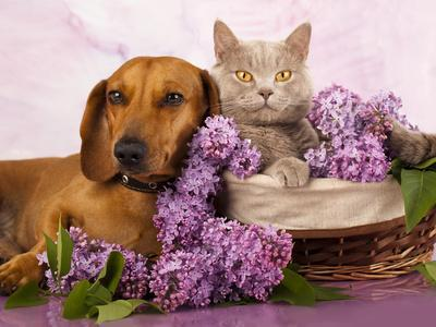 https://imgc.allpostersimages.com/img/posters/british-kitten-rare-color-lilac-and-puppy-red-dachshund-cat-and-dog_u-L-Q1038D90.jpg?p=0