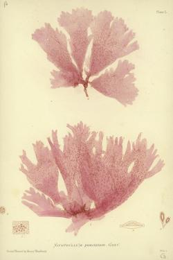 British Sea-Weed