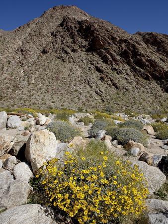 https://imgc.allpostersimages.com/img/posters/brittlebush-encilia-farinosa-in-borrego-palm-canyon-anza-borrego-desert-state-park-california_u-L-PFNA9A0.jpg?p=0