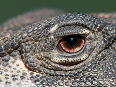 Close Up of the Eye of a Lace Monitor
