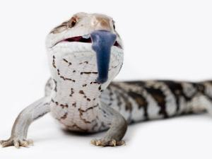 Eastern Blue-Tongue Lizard Pokes Tongue Out in Defense by Brooke Whatnall