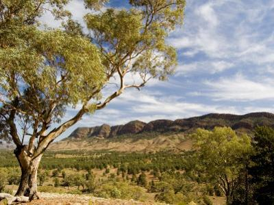 Eucalyptus Tree Stands on Top of Hill with Flinders Ranges in Back