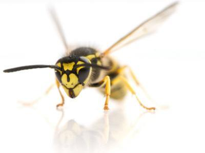 European Wasp Sitting in Studio with Wings Expanded About to Fly