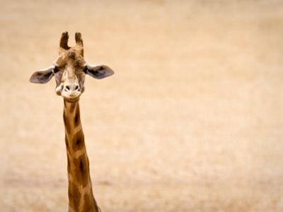 Giraffe Looks at Camera with Plain Background