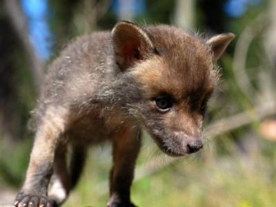 Juvenile Fox Exploring in a Forest