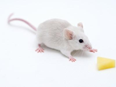 Lab Mouse Reaches Out for Cheese in Lab Experiment