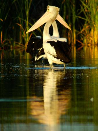 Two Pelicans Standing in Morning Light as a Pair, with Reflection