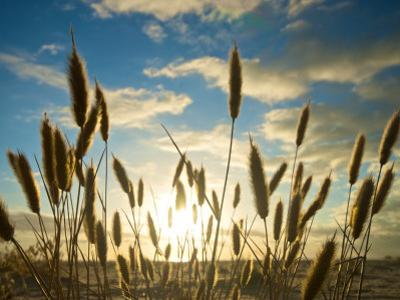 Wild Wheat Growing on the Shores of Lake Alexandrina, Sa by Brooke Whatnall