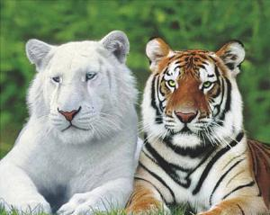 Brothers (White & Orange Tigers) Art Poster Print