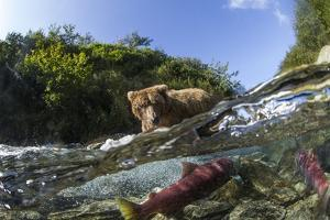 Brown Bear and Underwater Salmon, Katmai National Park, Alaska