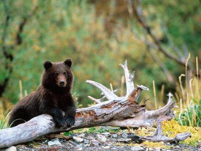 https://imgc.allpostersimages.com/img/posters/brown-bear-cub-in-katmai-national-park-alaska-usa_u-L-P42JLS0.jpg?p=0