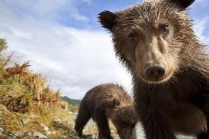 Brown Bear Cubs, Katmai National Park, Alaska