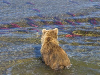 https://imgc.allpostersimages.com/img/posters/brown-bear-fishing-in-shallow-waters-katmai-national-park-alaska-usa_u-L-Q1CZRTI0.jpg?p=0