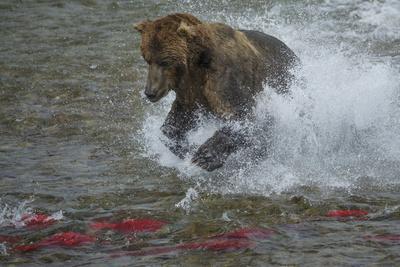 https://imgc.allpostersimages.com/img/posters/brown-bear-fishing-katmai-national-park-alaska-usa_u-L-Q1D0HM50.jpg?p=0