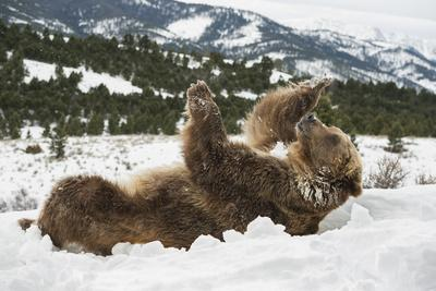 https://imgc.allpostersimages.com/img/posters/brown-bear-grizzly-ursus-arctos-montana-united-states-of-america-north-america_u-L-PWFQMQ0.jpg?p=0