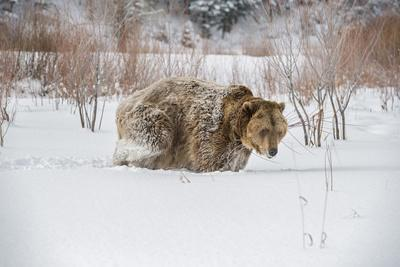 https://imgc.allpostersimages.com/img/posters/brown-bear-grizzly-ursus-arctos-montana-united-states-of-america-north-america_u-L-PWFQNQ0.jpg?p=0