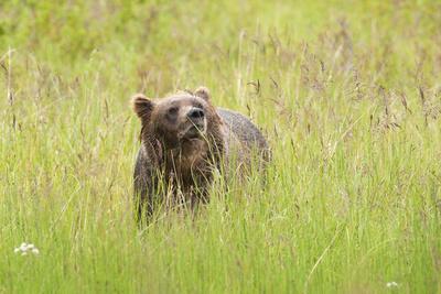 https://imgc.allpostersimages.com/img/posters/brown-bear-katmai-national-park-alaska-usa_u-L-Q1D0JEP0.jpg?p=0