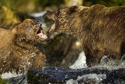 https://imgc.allpostersimages.com/img/posters/brown-bear-katmai-national-park-alaska_u-L-PZMKUZ0.jpg?p=0