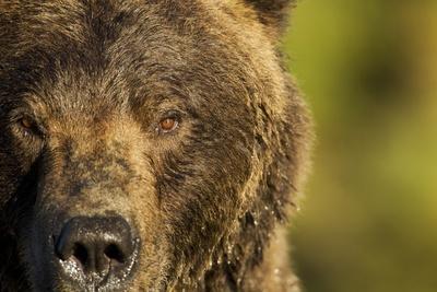 https://imgc.allpostersimages.com/img/posters/brown-bear-katmai-national-park-alaska_u-L-PZN3I30.jpg?p=0